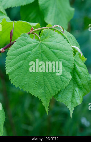 Small-leaved lime, Tilia cordata, young leaves in spring, Berkshire, May - Stock Photo