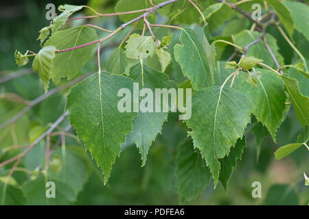 Young leaves of silver birch tree, Betula pendula, in spring, Berkshire, May - Stock Photo