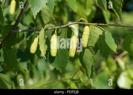 Young leaves of silver birch tree with young female catkins, Betula pendula, in spring, Berkshire, June - Stock Photo