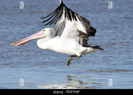Pelicans,Pelicans are a genus of large water birds that make up the family Pelecanidae. - Stock Photo