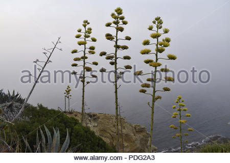 Agave americana flowering plants on the Atlantic coast in Tarifa Southern Spain Europe. Mist forming over the ocean in the morning. - Stock Photo