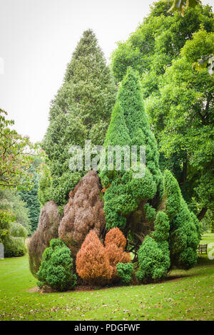 A small neat colony of conical conifers in an English parkland setting showing signs of distress or death possibly due to drought - Stock Photo