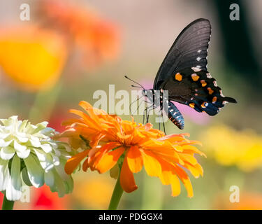 Pipevine Swallowtail Butterfly - Stock Photo