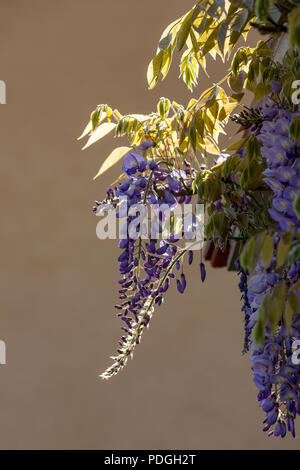 Purple flowering Wisterias - Fabaceae, backlit by the spring sun. - Stock Photo