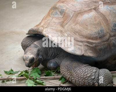 Aldabra tortoise geochelone gigantea takes a bite out of the leaves of a branch  - Stock Photo