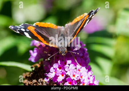 Detailed Head-on View of a Red Admiral Butterfly (Vanessa atalanta) Feeding on a Buddleia Flower on a warm Summer Day. Torrington, Devon, England, - Stock Photo