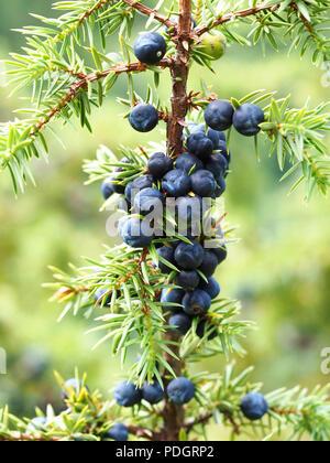 Juniper berries on bush branch - Stock Photo