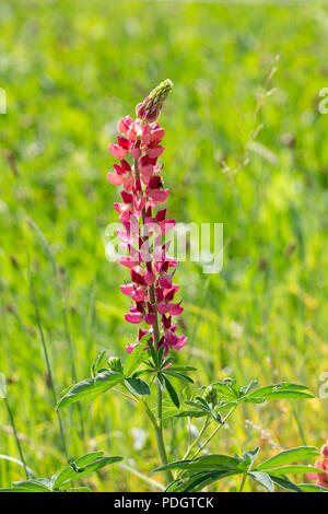 A flowering Large-leaved Lupine, Big-leaved Lupine, Many-leaved Lupine or Garden Lupine - Lupinus polyphyllus - on a green background - Stock Photo