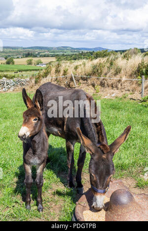 Equus asinus, Donkey mare and foal - Stock Photo