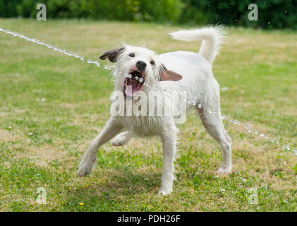 Jack Russell Terrier dog is playing and catches a water jet from a garden hose and drinks the fresh water on a hot summer day - Stock Photo