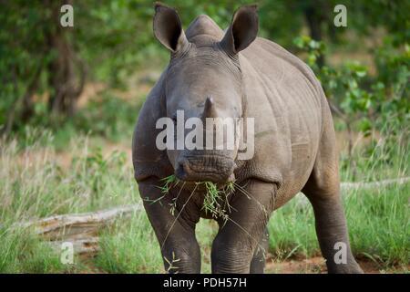 Baby white rhino chewing on grass - Stock Photo