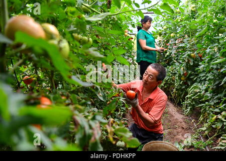 Shuozhou, China's Shanxi Province. 8th Aug, 2018. Farmers pick tomatoes in a contracted greenhouse in reclamation area of Antaibao open-cut coal mine in Shuozhou City, north China's Shanxi Province, Aug. 8, 2018. Shuozhou government has boosted the restoration of eco-environment with a series of comprehensive management projects. The improved environment also helped poverty-stricken households to get rid of poverty through afforestation, vegetable planting and rural tourism. Credit: Cao Yang/Xinhua/Alamy Live News - Stock Photo