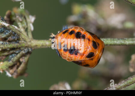 Pupa of the harlequin ladybird (Harmonia axyridis), also known as multicolored Asian, or Asian ladybeetle - Stock Photo