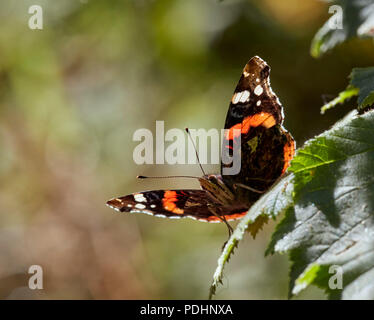 Red Admiral perched on leaf. Bookham Commons, Surrey, England. - Stock Photo