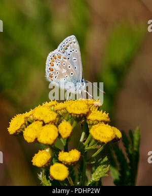 Common Blue male nectaring on Tansy. Hurst Meadows, East Molesey, Surrey, England. - Stock Photo