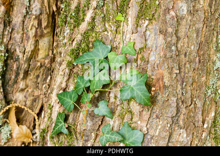 Hedera Helix, Common Ivy close up growing, climbing a tree trunk in woodland, Hampshire, UK - Stock Photo