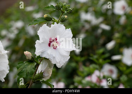 Hibiscus syriacus SUP'HEART / Minomb. Rose of Sharon. Hibiscus syriacus Pinky Spot flowers - Stock Photo