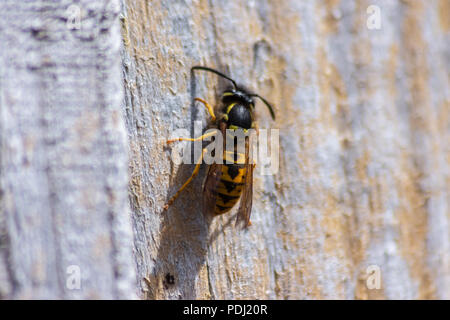 Common Wasp Vespula vulgaris on a dry wooden fence panel chewing and gathering the wood for nest building - Stock Photo