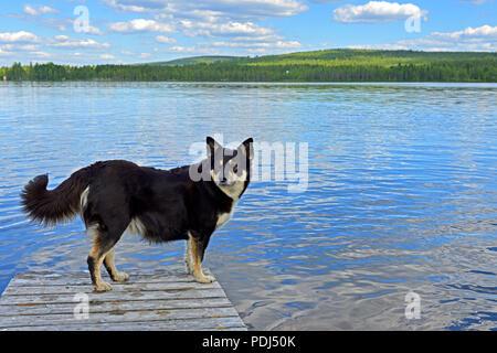 Lapponian herder (Lapinporokoira or Lapp Reindeer dog or Lapsk Vallhund)  on background of blue lake. Finnish Lapland - Stock Photo