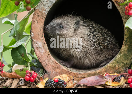Hedgehog, native, wild, European hedgehog in clay drainage pipe with black and red berries.  Natural habitat.  Horizontal.  Erinaceus europaeus - Stock Photo