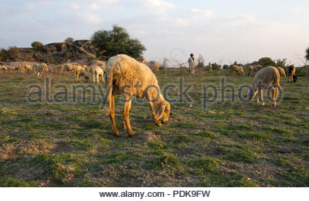 flock of sheeps in field for eating grass - Stock Photo