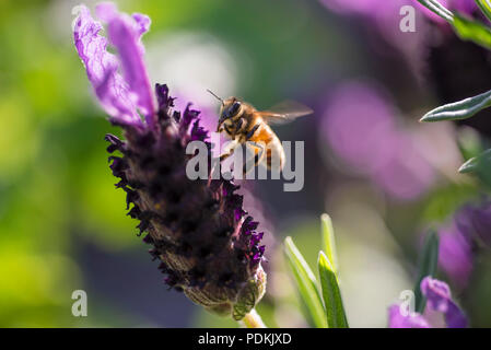 Bee landing on lavender flower, Australia, close up view - Stock Photo