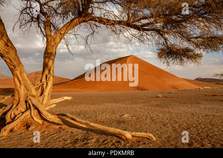 Dormant tree sits under a giant sand dune in the Winter in Namibia - Stock Photo