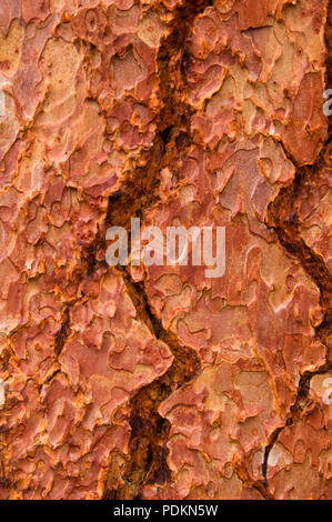 Ponderosa pine bark from the Metolius River Trail, Metolius Wild & Scenic River, Deschutes National Forest, Oregon - Stock Photo