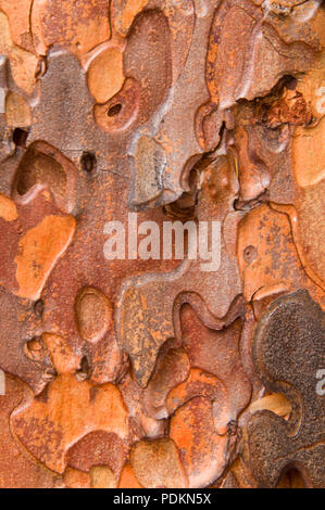 Ponderosa pine bark from the Metolius River Trail, Metolius Wild & Scenic River, Deschutes National Forest, Oregon - Stock Photo