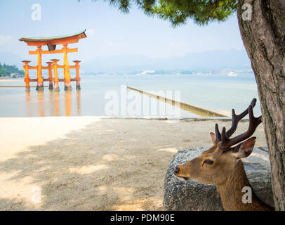 A male sika deer (Cervus nippon) in front of the floating torii gate at Itsukushima Shrine on the island of Miyajima, Hiroshima Prefecture, Japan. - Stock Photo