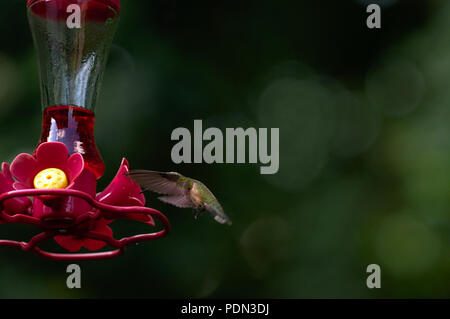 Hummingbird hovering around nectar feeder with blurry green background - Stock Photo