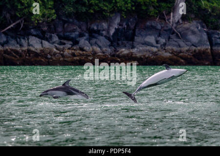 2 pacific white sided dolphins jumping close to shore in Knight Inlet, First Nations Territory, British Columbia, Canada.