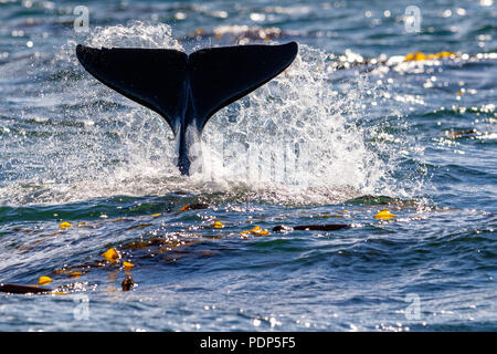 Northern resident killer whale spalshing with fluke near Lizard Point, Malcolm Island,  Vancouver Island, British Columbia, Canada - Stock Photo