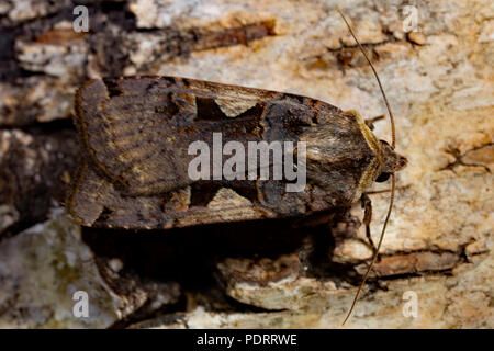 setaceous hebrew character moth, Xestia c-nigrum - Stock Photo
