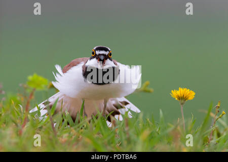 Little Ringed Plover spreading it's tail. - Stock Photo
