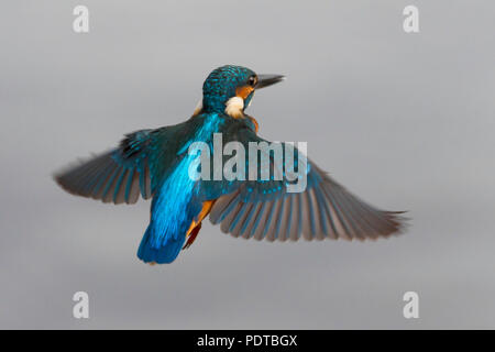 Kingfisher hovering. - Stock Photo