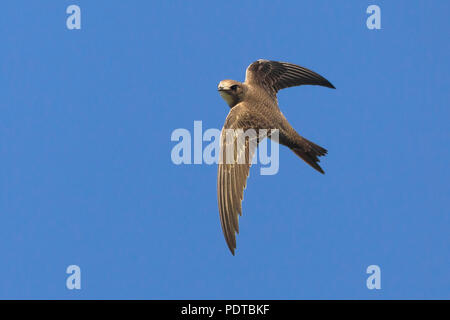 Alpine Swift flying across a blue sky. - Stock Photo