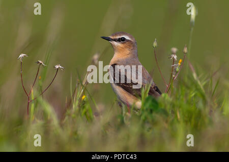 Male Northern Wheatear on grass; Oenanthe oenanthe; Mannetje Tapuit in het gras - Stock Photo