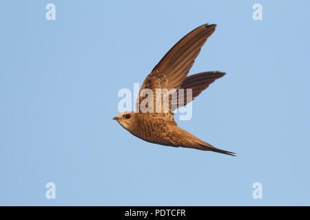 Pallid Swift flying. - Stock Photo