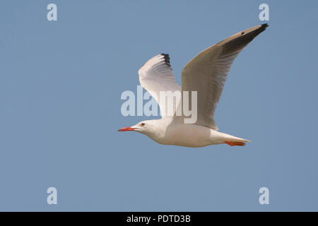 Vliegende dunbekmeeuw tegen blauwe achtergrond. - Stock Photo