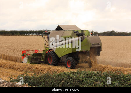 A Combine Harvester moving across the field of Wheat cutting and threshing with the straw dropping out of the machine and the grain being stored. - Stock Photo