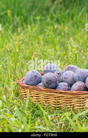 Just picked ripe plums in wicker baskets on green grass in the garden. Just harvested fruits - Stock Photo