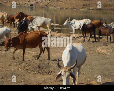 herd of Indian cows grazing near a river - Stock Photo
