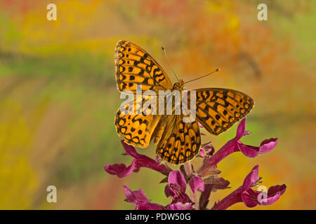 Dorsal view of a Coronis Fritillary butterfly, Speyeria coronis, on the fresh buds of a wildflower in the Cascade Mountains of central Oregon near the - Stock Photo