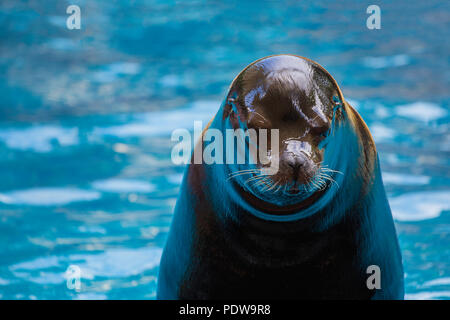 Sea lion during shows organized in aquarium Zoo. - Stock Photo