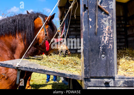 Brown thoroughbred horses are tied with reins and they are eating fresh hay from truck trailer. - Stock Photo