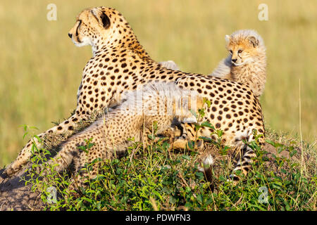 Cheetah with cubs lying on the savannah and watching - Stock Photo