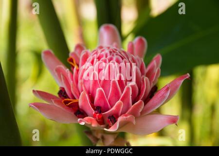 Nice closeup of a beautiful pink rose de porcelaine (Etlingera elatior). This special flower is used as decoration in flower arrangements like ikebana... - Stock Photo