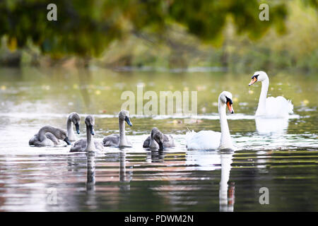 beautiful family of swans in a idilic setting of green countryside swimming on an open river - Stock Photo