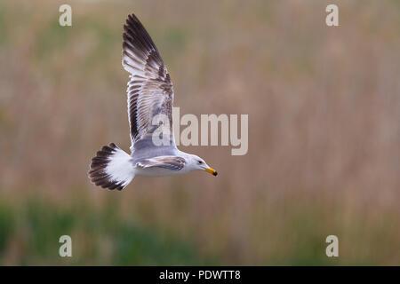 Immature Armenian Gull flying - Stock Photo